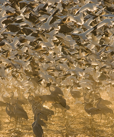 Snow Geese and Sandhill Cranes in Corn Field