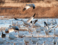 Snow Geese Taking Flight at Bosque del Apache NWR