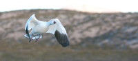 Snow Goose Taking Off