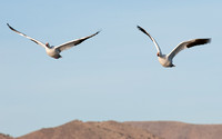 Snow Geese in flight at Bosque del Apache NWR